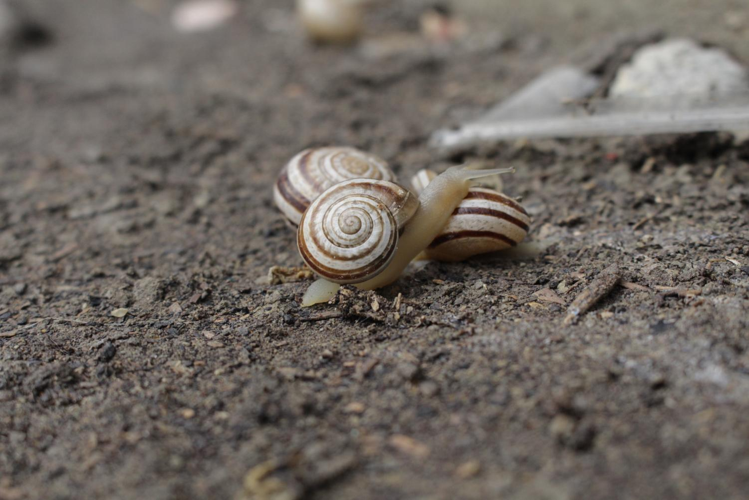 A+larger+snail+makes+its+way+through+the+dirt+in+order+to+reach+the+rest+of+its+escargatoire+%28a+group+of+snails%29.+The+spirals+on+the+snail%E2%80%99s+shell+are+a+textbook+example+of+biological+chirality.+The+definite+colors+on+the+shell+are+caused+by+the+snail%E2%80%99s+ability+to+fit+its+vital+organs+inside+the+shell+for+protection.