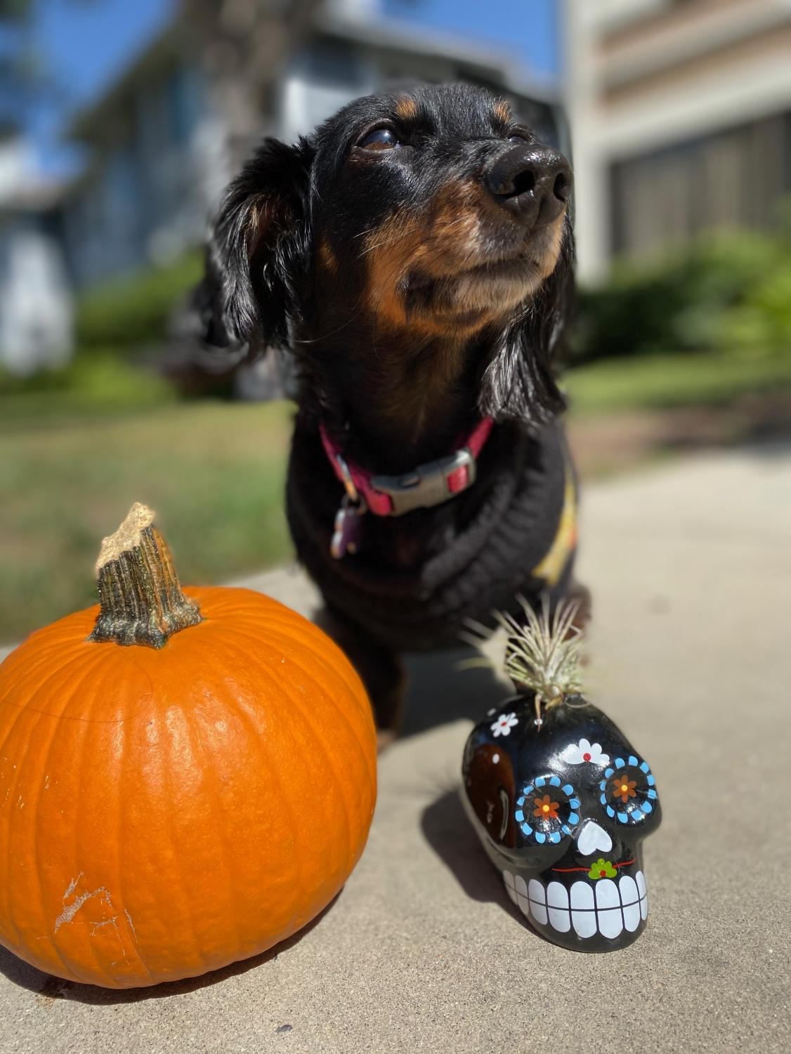 Sadie+is+a+miniature+dachshund.+She+is+an+uncommon+mix+between+a+long+and+short+hair+doxie.+In+November%2C+Sadie+will+be+turning+10+so+be+sure+to+wish+her+a+yappy+barkday%21+To+see+more+photos+and+updates+on+Sadie%2C+check+out+her+growing+instagram+page%2C++%40dachshund_doxie_chicks.