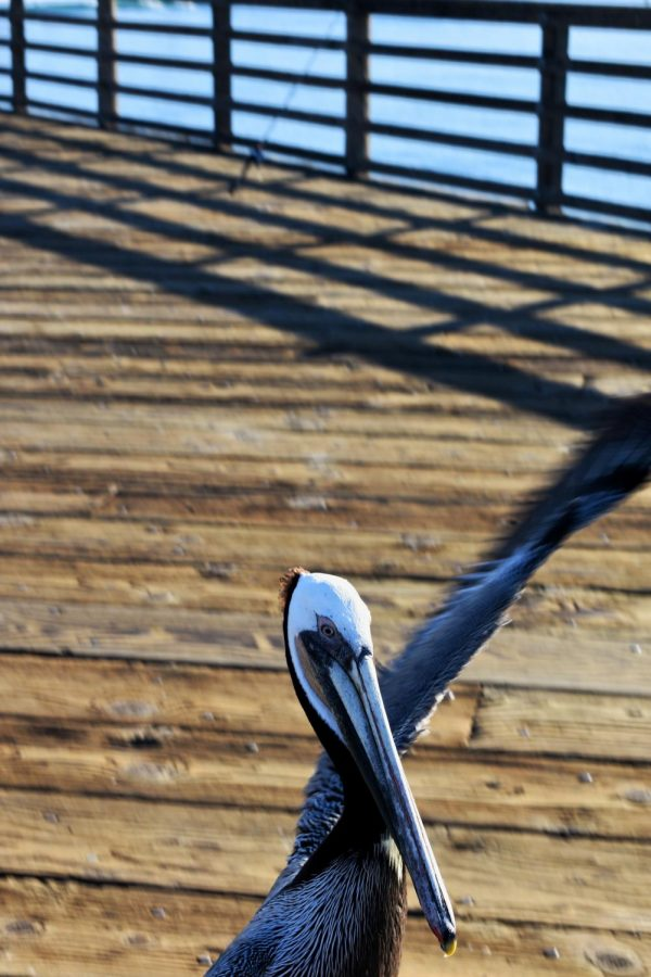 Voo takes flight! The pelican typically stays close to the bait shop, but sometimes likes to venture further down the pier.