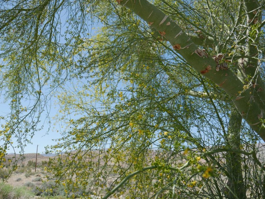 This tree is not like any old tree. It's called a Palo Verde, meaning green stick, referring to the tree's green trunk.
