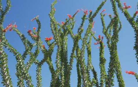 Ocotillos without the bright green look of the stem would look like nothing but a dead tree. These fascinating plants can grow to be 6-15 feet tall.