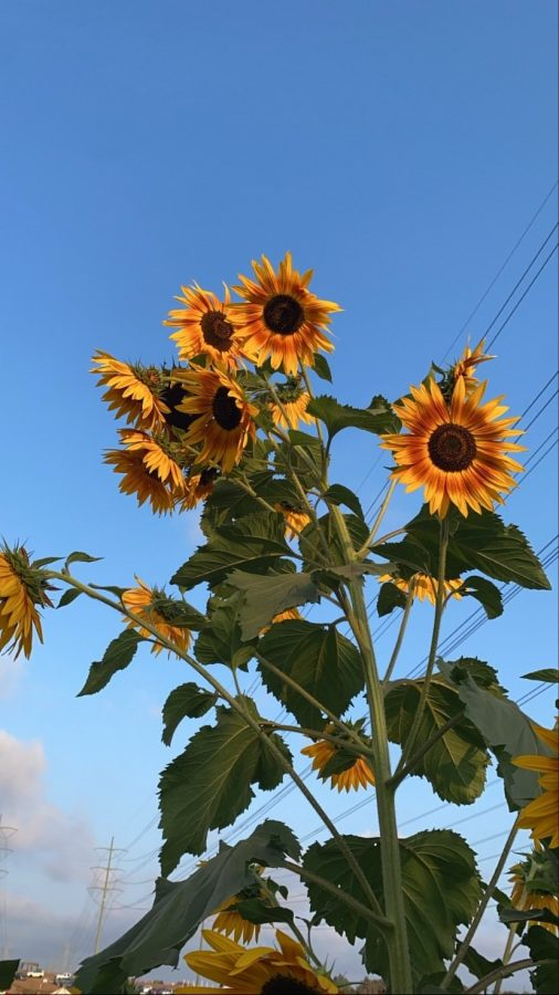 Sunflowers are growing at the Carlsbad Strawberry Company. During October the strawberry fields are turned into a pumpkin patch for the Halloween season.