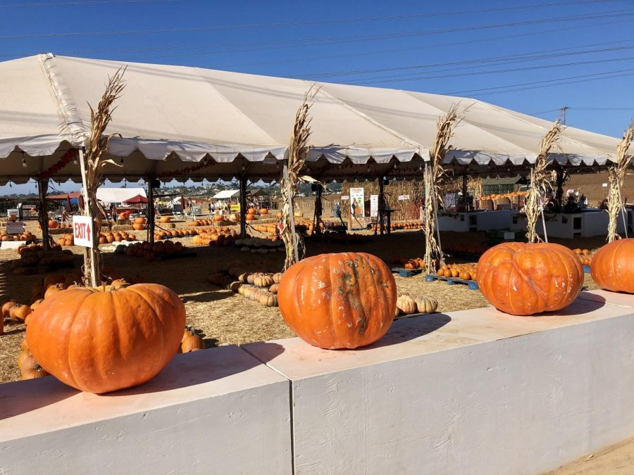 The Carlsbad Strawberry Field holds their annual pumpkin patch for the fall season. Families safely social distanced in the area while they picked out the perfect pumpkin.