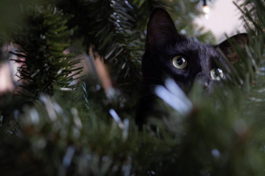 A cat attempts to climb the Christmas Tree. Since everyone has been stuck at home, pets have begun to take up a greater part of our lives by barging into our classes and hanging out with us during Lunch.